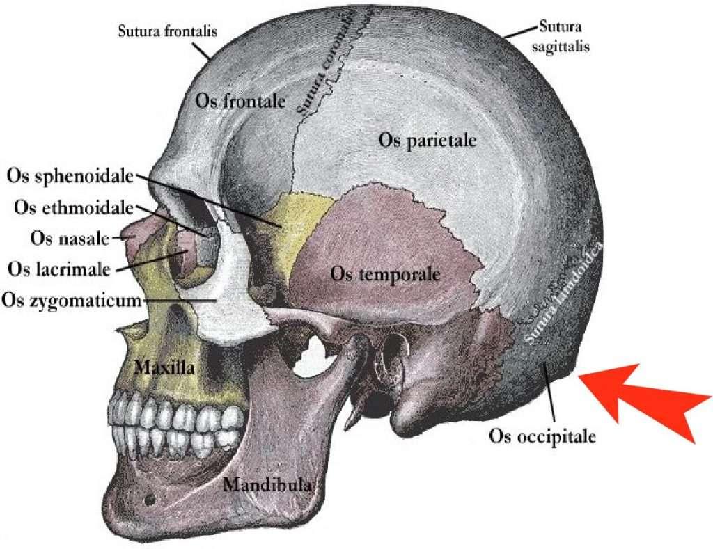 Schädel zur Lehre der Anatomie